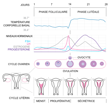 cycle hormonal femme