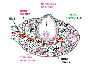 observation glaire cervicale cycle menstruel